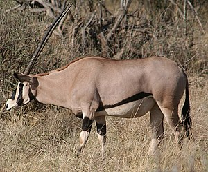East African oryx - Beisa oryx (O. b. beisa) At the Samburu National Reserve, Kenya