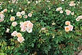 Bellingrath Gardens and Home 2018 rose garden Mother of Pearl.jpg