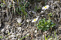 Bellis perennis route-ailly-sur-meuse 55 07042007 4.jpg