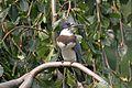 Belted Kingfisher - Flickr - GregTheBusker.jpg
