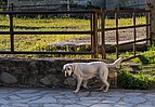 Benasque - Anciles - Labrador Retriever.jpg
