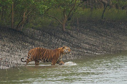 A Bengal tiger, the national animal, in the Sundarbans Bengal Tiger gets down in a shallow canal in Sundarban.jpg