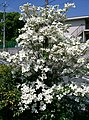 Benthamidia florida5.jpg