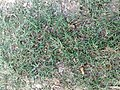 Bermudagrass.jpg