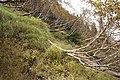 Betula ermanii 05.jpg