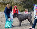 Big Poodle on the Beach in Santa Cruz (8322990398).jpg