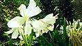Big White Flowers.jpg