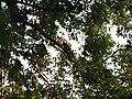Bird White-throated Brown Hornbill Anorrhinus austeni IMG 9075 09.jpg
