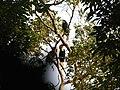 Bird Wreathed Hornbill Rhyticeros undulatus IMG 9195 (7).jpg