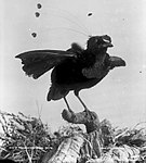 Bird of Paradise, New Guinea (4903247881) (cropped).jpg
