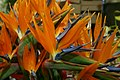 Bird of Paradise Flower (222278866).jpg