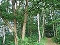 Birken-Eichenwald, Zwiesel.JPG