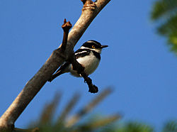 Black-headed Batis, Ndassima, CAR (5958865624).jpg