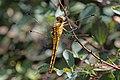 Black-tailed skimmer (Orthetrum cancellatum) female Hungary.jpg