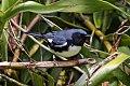 Black-throated Blue Warbler (Setophaga caerulescens) (8082119094).jpg