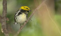 Black-throated Green Warbler.jpg