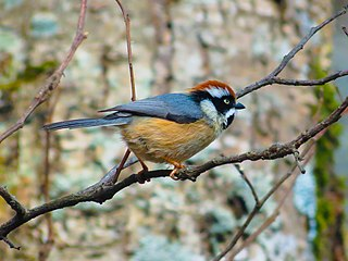 Black-throated bushtit species of bird