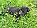 Black Dog nature.jpg