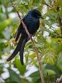 Black Drongo (16410453268).jpg