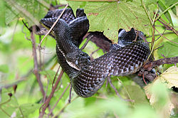 definition of rat snake