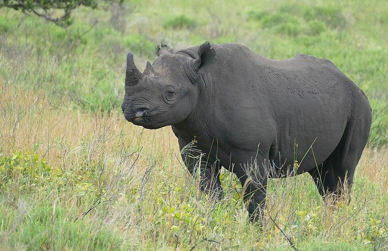 Archivo: Black Rhino (Diceros bicornis) (31695062047) .jpg