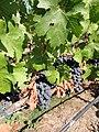 Black Stallion Winery, Napa Valley, California, USA (6681902791).jpg