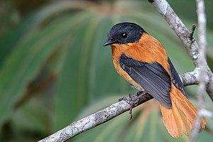 Black-and-orange flycatcher - Image: Black and Orange Flycatcher