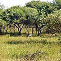 Black buck ( gir forest).jpg