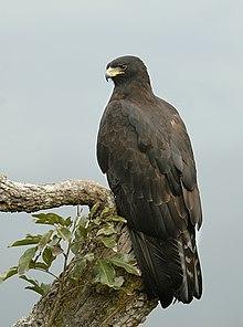 �������� �������������... 220px-Black_eagle.jp