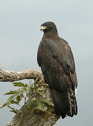 Black eagle - The wing tip reaches the tail at rest (ssp. perniger)