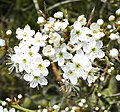 Blackthorn Prunus spinosa) Pebsham. X (3415351926).jpg
