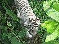 Blanka tigro 2.JPG