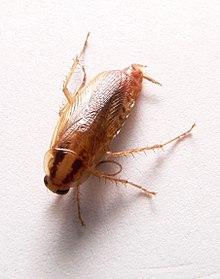 рыжий таракан 6 букв - фото 2