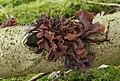 Blattartige Zitterling (Tremella foliacea).jpg