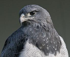 http://upload.wikimedia.org/wikipedia/commons/thumb/d/d4/Blaubussard.jpg/275px-Blaubussard.jpg
