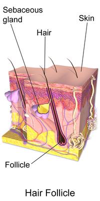 Blausen 0437 HairFollicleAnatomy