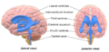 Blausen 0896 Ventricles Brain.png