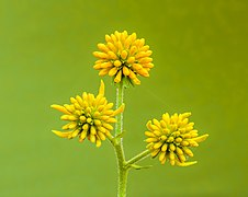 Bloemknoppen van Verbesina alternifolia. 07-09-2021. (d.j.b).jpg