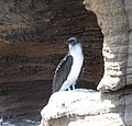 Blue-footed Booby (46861878065).jpg