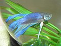 Blue Betta Splendens.jpg