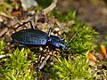 Blue Ground Beetle (Carabus intricatus) (13533863304).jpg