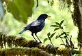 Blue Whistling Thrush in the woods.jpg