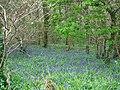 Bluebells, Whitsbury - geograph.org.uk - 1281441.jpg