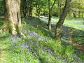 Bluebells on the ramparts at Blackbury Camp - geograph.org.uk - 1285607.jpg