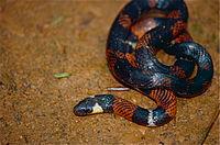 Boie's Ground Snake (Atractus badius) (10359041273).jpg