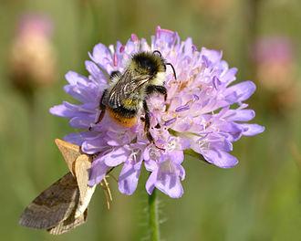Knautia arvensis - Image: Bombus sylvarum (male) Knautia arvensis Keila 2