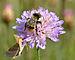 Bombus sylvarum (male) - Knautia arvensis - Keila2.jpg