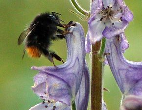 Description de l'image Bombus wurfleini tyvhumle.jpg.