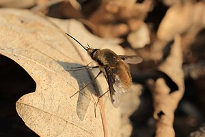 Bombylius major - Leithagebirge.jpg
