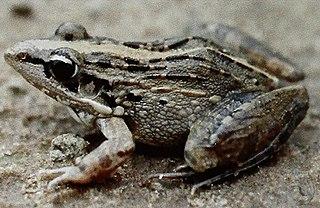 <i>Ptychadena bibroni</i> Species of frog